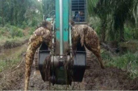 Warga Jambi Heboh, Buaya 4 Meter Ditemukan di Aliran Kanal Kelapa Sawit